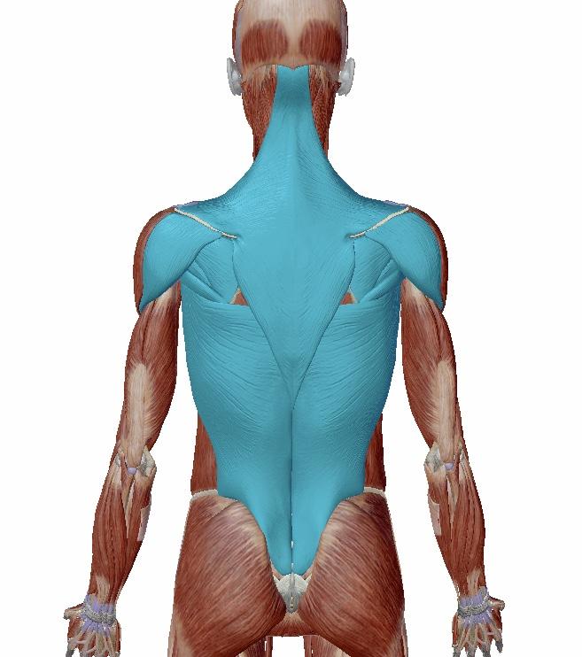 解剖学背中の筋肉